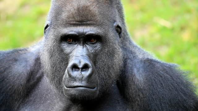 Gorila - vídeo