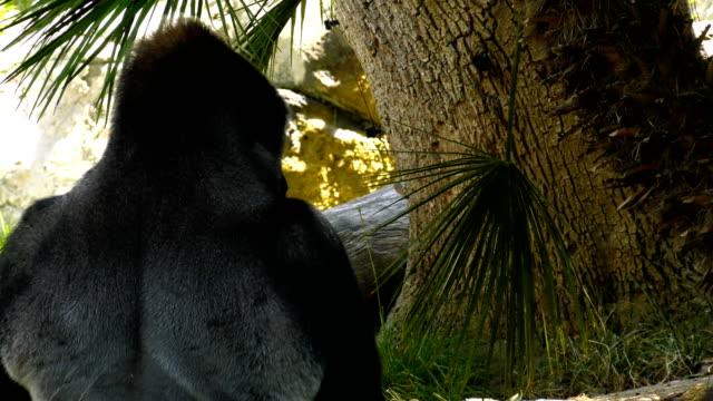 gorilla   - ゴリラ点の映像素材/bロール