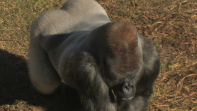 Gorilla walking from above point of view video