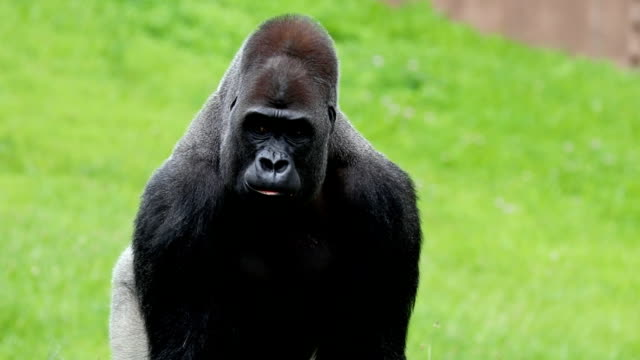 Gorilla walking strolling and eating video