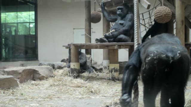 ゴリラで遊ぶ動物園 - 動物園点の映像素材/bロール