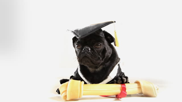 Graduated Pug Dog video