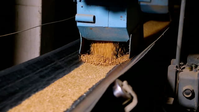 Grain moves along the conveyor belt Grain moves along the conveyor belt. Wheat is transported by conveyor for drying and grinding in a mill. Wheat is ground into flour. Wheat grain on the conveyor. flour stock videos & royalty-free footage