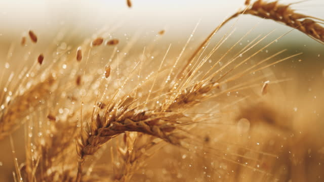 SLO MO Grains falling over wet ears of wheat Super slow motion shot of grains falling over wet ears of wheat in the middle of a field at sunrise. wheat stock videos & royalty-free footage
