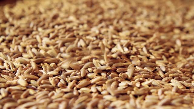 grains of rye - çavdar stok videoları ve detay görüntü çekimi