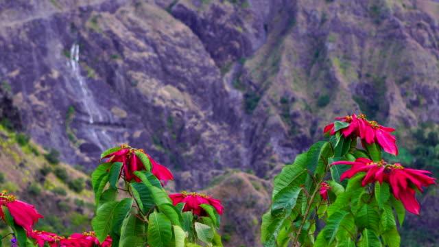 Grand Place in Reunion Island - Euphorbia pulcherrima video