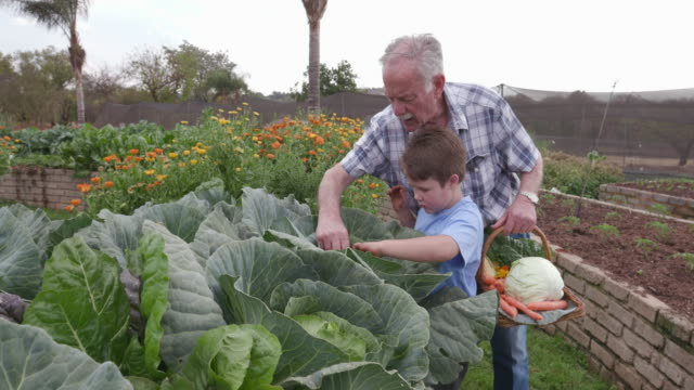 Grandfather and Grandson inspecting a cabbage in a vegetable garden video