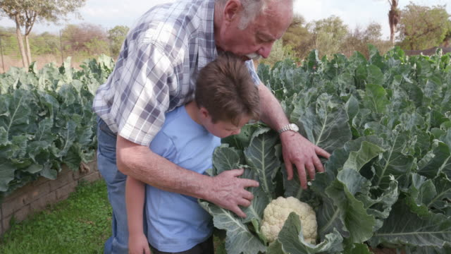 Grandfather and Grandson inspecting a cauliflower in a vegetable garden video
