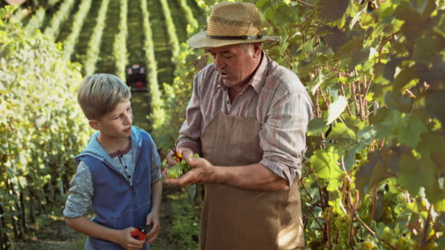 DS Grandfather showing grandson how to harvest grapes by hand video