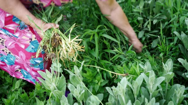 Grandma in a colored robe pulling out weeds in a green garden Grandma in a colored robe pulling out weeds in a green garden weeding stock videos & royalty-free footage