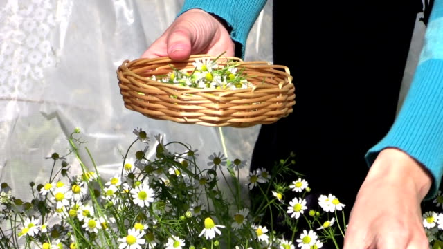 grandmother with granddaughter gather herbal chamomile flowers video