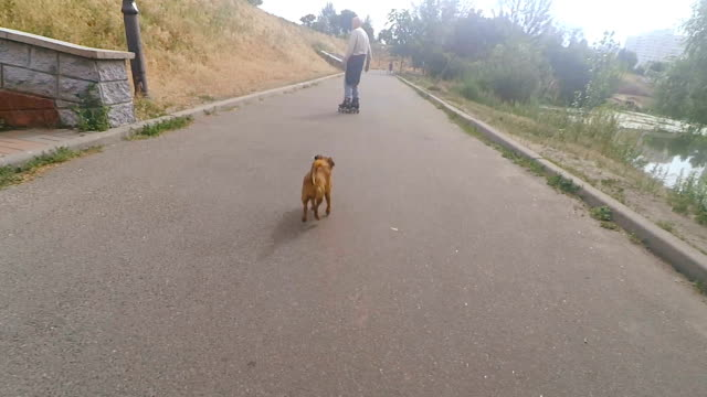 Grandpa rolls on roller with a dog of the Griffon breed video