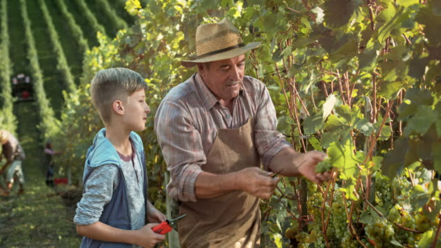 ds grandpa teaching grandson how to hand harvest grapes - ciągłość filmów i materiałów b-roll