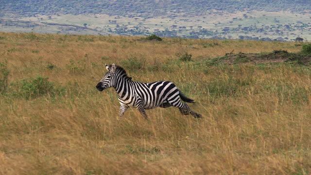 grant-zebra, equus burchelli boehmi, erwachsenen durch savanne, masai mara-park in kenia, slow-motion - savanne stock-videos und b-roll-filmmaterial