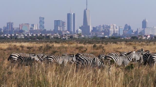 vídeos de stock e filmes b-roll de grant's zebra, equus burchelli boehmi, herd at nairobi park in kenya, nairobi city in the back, real time 4k - quénia