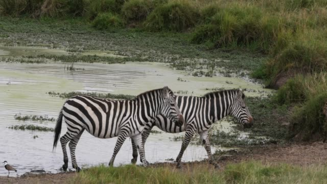 grant's zebra, equus burchelli boehmi, herd standing at the water hole, masai mara park in kenya, real time 4k - equino video stock e b–roll