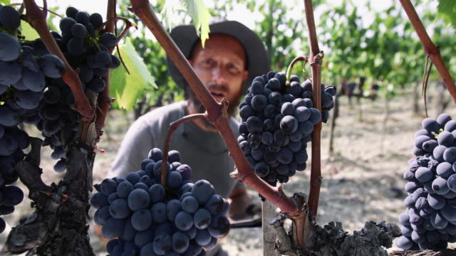 Grape harvesting for wine making storytelling: enologist at work in Tuscany