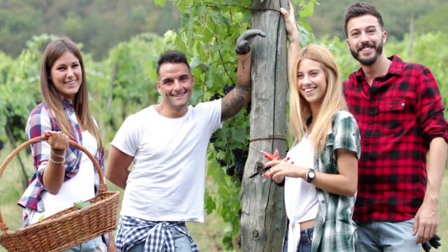 Grape harvesting for wine making storytelling: Italian vendemmia in Tuscany