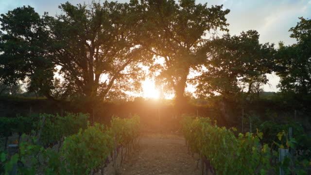 Grape harvesting for wine making storytelling: POV truck driving in the vineyard