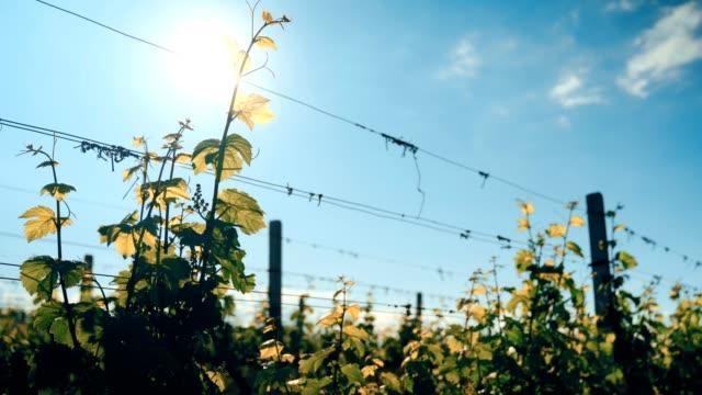 葡萄田裡有葡萄葉。高品質的 4k 素材 - 枝 植物部分 個影片檔及 b 捲影像