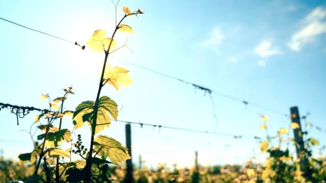 陽光明媚的田野裡有葡萄葉。4k 視訊 - 枝 植物部分 個影片檔及 b 捲影像