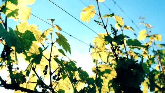 陽光明媚的田野裡有葡萄葉 - 枝 植物部分 個影片檔及 b 捲影像