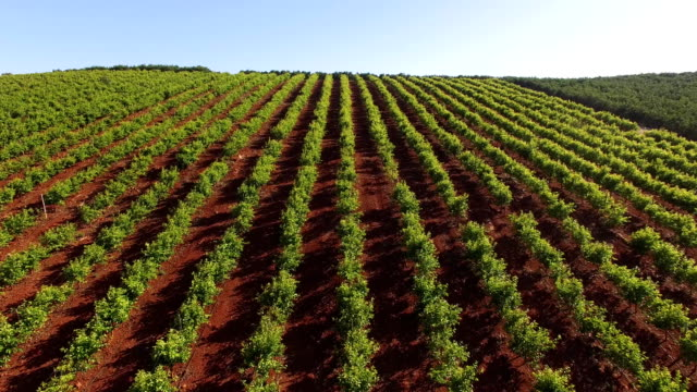 grape plantation in the south of portugal, the algarve. at may in portugal, algarve, aerial view - лимон стоковые видео и кадры b-roll