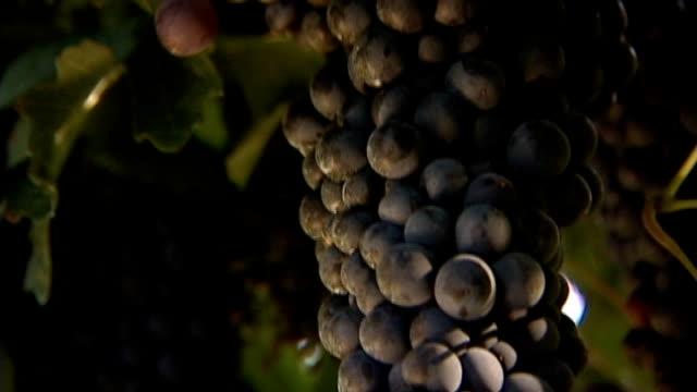 stockvideo's en b-roll-footage met grape red merlot - heilig geschrift