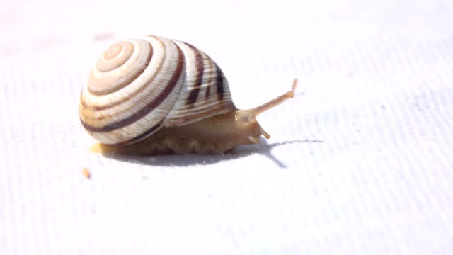 grape snail crawling on a cloth surface - antenna parte del corpo animale video stock e b–roll