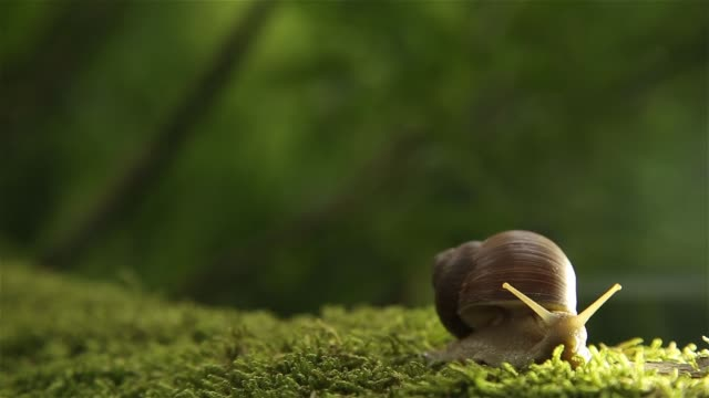 A grape snail on a green moss in the forest slowly turns its head