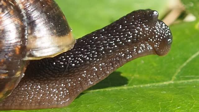 A grape sun snail sits on a blade of grass.