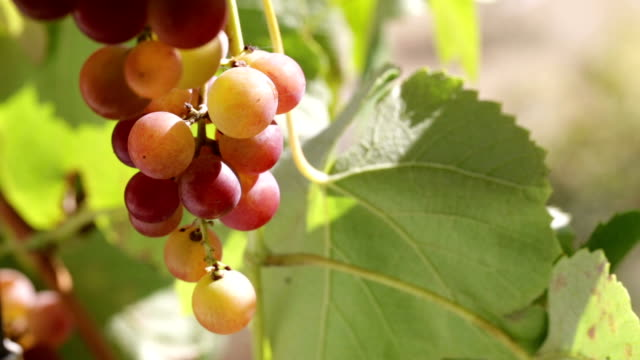 Grape vine closeup. Grape vine closeup. The bee flies to the grapes. cultivated land stock videos & royalty-free footage