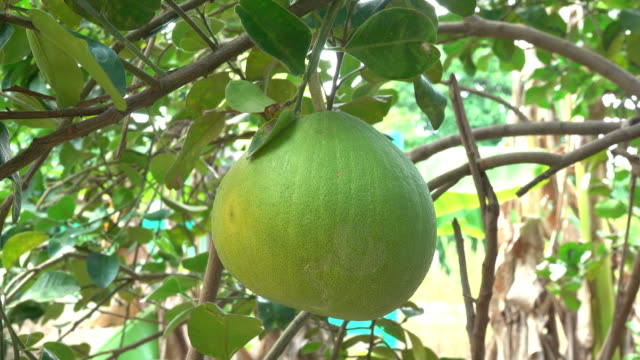 Grapefruit on a tree