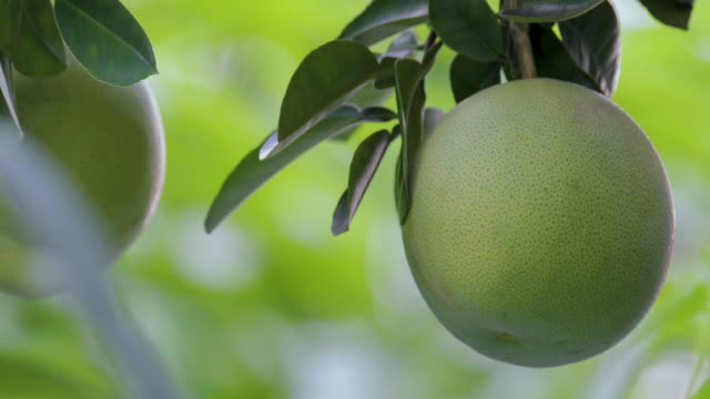 Grapefruit tree, grapefruit, firm, plump