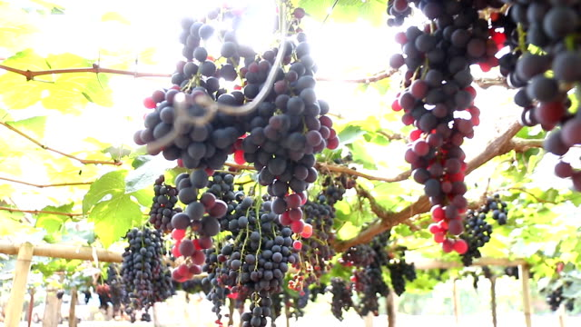 Grapes fruit background video
