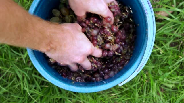 Grapes fruits home wine processing thorough crushing