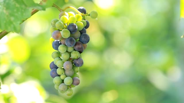 Grapes grow on plantation Grapes grow on plantation and sunlight provence alpes cote d'azur stock videos & royalty-free footage