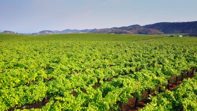 Grapes Growing in Northern California Winery video