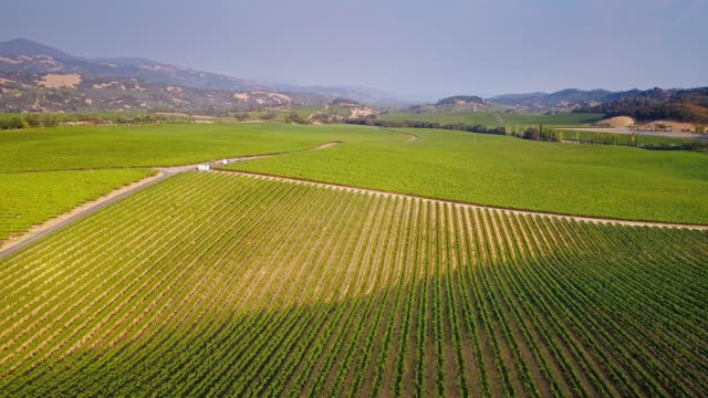Grapes Growing in Rows in Rolling Sonoma Vineyard video