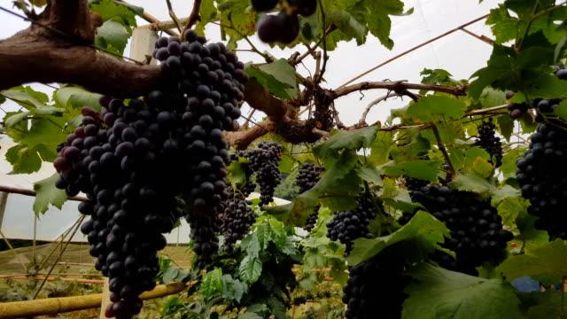 vídeos de stock e filmes b-roll de grapes harvest. farmers hands with freshly harvested black grapes. - uva shiraz