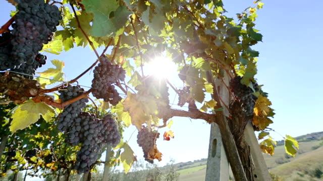 Grapes Harvesting: vineyard view video