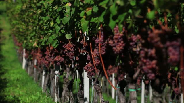 Trauben in einem Weinberg (Endlos wiederholbar – Video