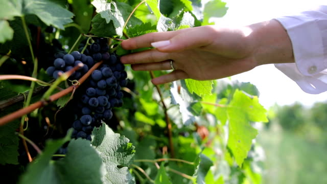 Grapes in my hand Grapes in my hand bunch stock videos & royalty-free footage
