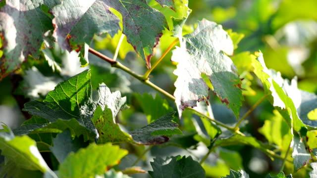 Grapes in vine yard