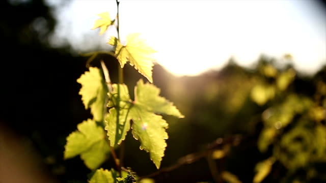 Grapes leaves in a sunny vineyard video