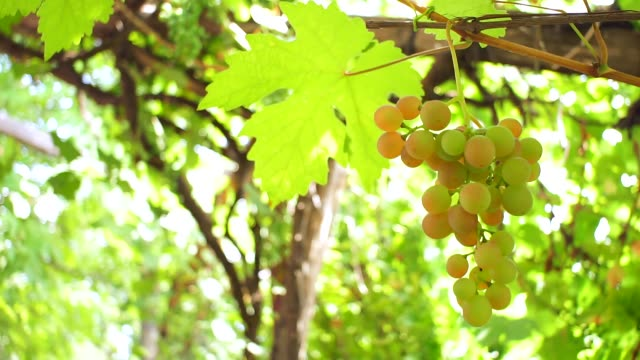 grapes on a branch fruit harvest - uva riesling bianco video stock e b–roll