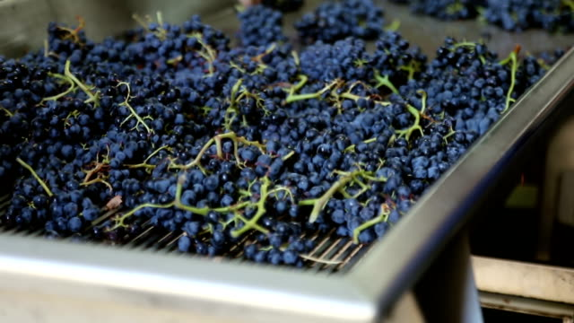 grapes on a sorting conveyor belt video