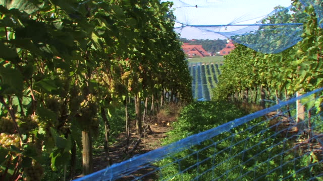 uva su grapevine con vista sul villaggio - uva riesling bianco video stock e b–roll