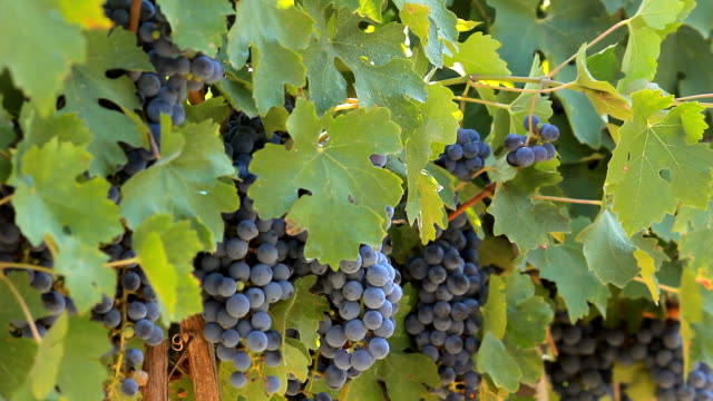 Grapes on the vine video