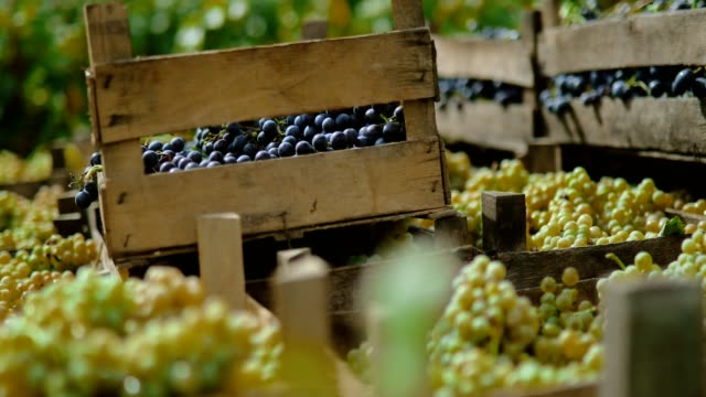 vídeos de stock e filmes b-roll de grapes transport - grapes